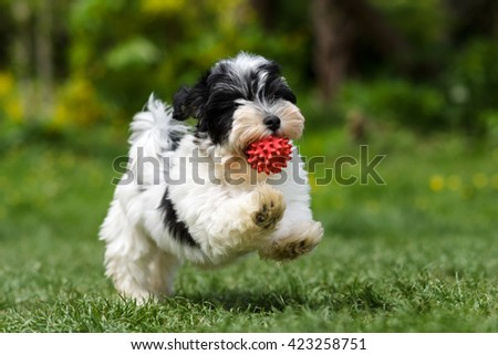 Playful spotted havanese puppy dog is running with a red ball in his mouth in a spring garden - stock photo