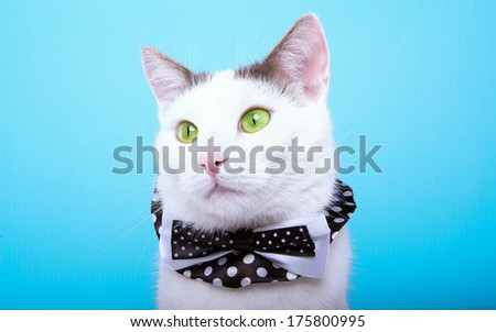 Playful stylish purebred cat. Animal portrait. Purebred cat with bow-tie is lying. Blue background. Colorful decorations. Collection of funny animals