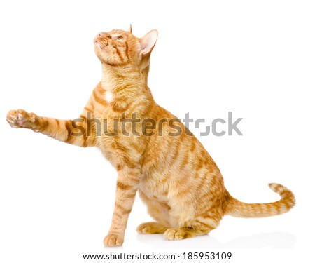 playful tabby cat. isolated on white background - stock photo