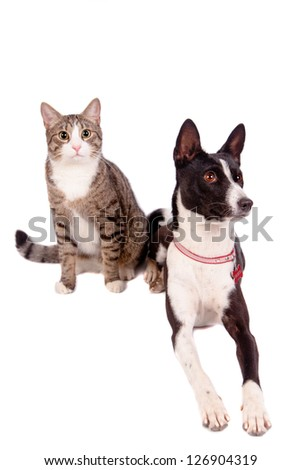 Playful tabby cat with black basenji, isolated on the white background