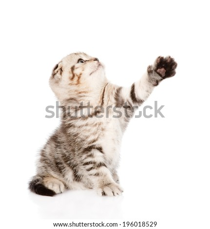 playful tabby kitten. isolated on white background
