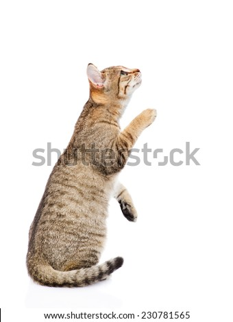 playful tabby kitten standing on hind legs and looking up. isolated on white background - stock photo