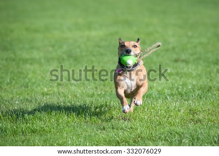 playful terrier dog running with a ball - stock photo