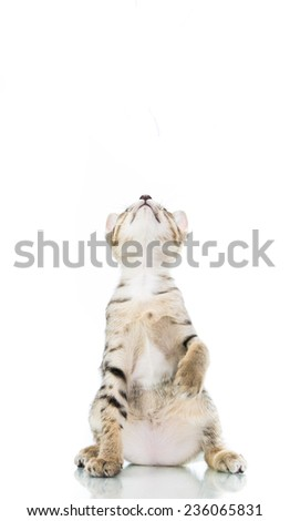 playful toyger kitten stand up show hand isolated on over white background