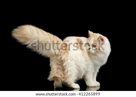 Playful White Scottish Highland Straight Bicolor Cat with Furry Tail Isolated on Black Background - stock photo