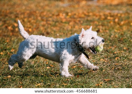 Playful White West Highland White Terrier - Westie, Westy Dog Runnig on Grass Outdoor With Ball - stock photo