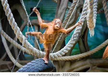 Playful young Bornean orangutan at the zoo - stock photo