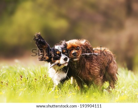 playfully two cavalier king charles spaniel running in spring nature - stock photo