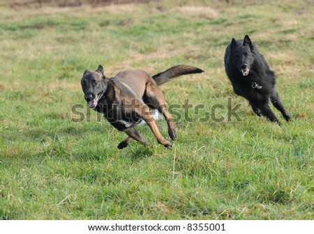 playing belgian shepherd