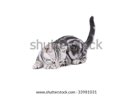 Playing British Shorthair kitten on white background