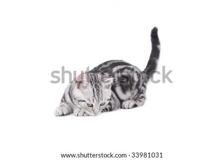 Playing British Shorthair kitten on white background - stock photo