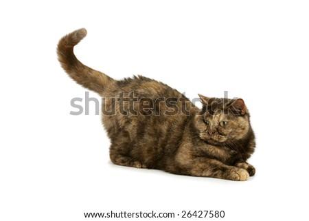 Playing British Shorthair tortie - stock photo