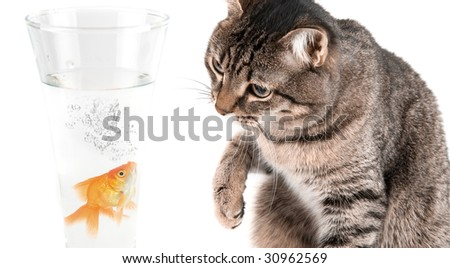 Playing cat and gold fish at glass isolated on white - stock photo