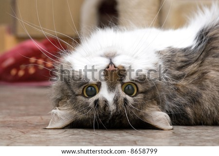 playing cat laying on the floor - stock photo