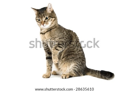 Playing cat portrait isolated on white - stock photo
