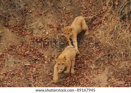 Playing Cubs - stock photo