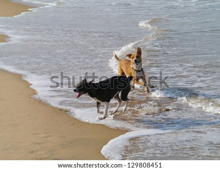 Playing dogs on the sand beach of Sri Lanka - stock photo