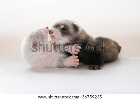 Playing ferret babies