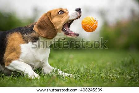 Playing fetch with agile Beagle dog - stock photo