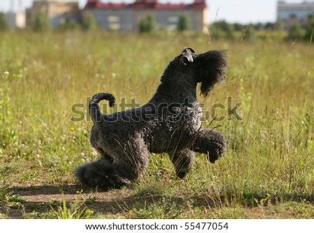 Playing Kerry Blue Terrier - stock photo