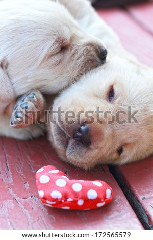 playing labrador puppies on green grass - three weeks old. - stock photo