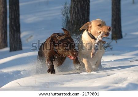 Playing labradors - stock photo