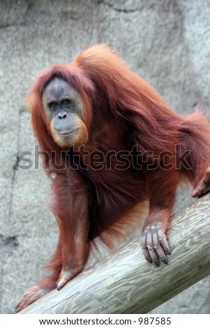 Playing orangutan posing. - stock photo