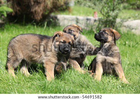 Playing puppies of German shepherd