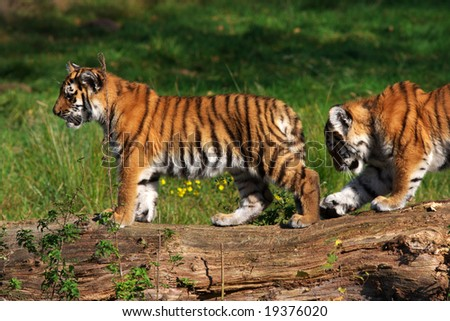 Playing Siberian tiger cubs at a tree