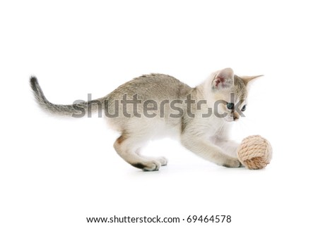 Playing Singapura kitten - stock photo