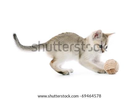 Playing Singapura kitten - stock photo
