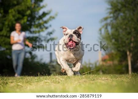 Playing with your english bulldog - stock photo