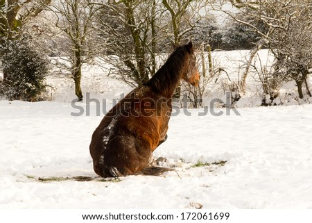 Playtime in the snow-bay pony sits on the ground as she enjoys playing and rolling in freshly fallen snow in rural Shropshire England. - stock photo