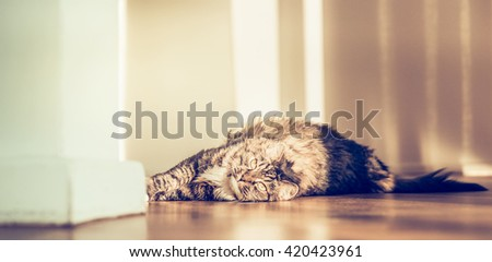 Pleased fluffy cat lying on the parquet floor and looking at the camera, indoor - stock photo