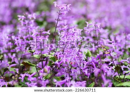 Plectranthus Mona Lavender flowers - stock photo