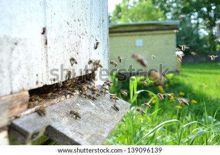 Plenty of bees at the entrance of beehive in apiary in the springtime - stock photo