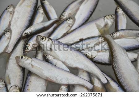 Plenty of fish (Alburnus alburnus), lying on the ice, covered with water - stock photo