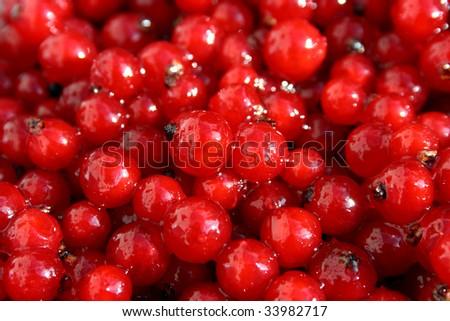 plenty of juicy red currants - stock photo