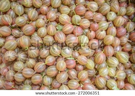 plenty of ripe gooseberry bush - stock photo