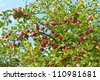 Plenty of ripe red apples on a branch - stock photo