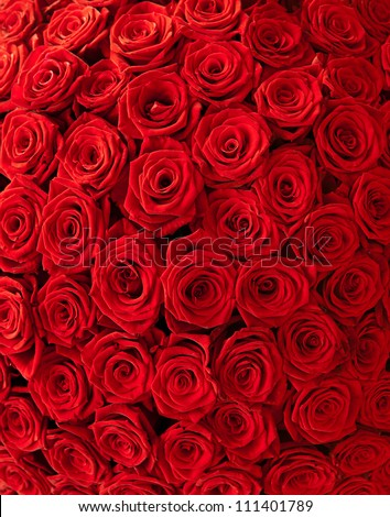 Plenty red natural roses background - stock photo