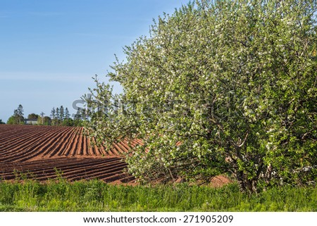 Plowed field and flowering apple tree in rural Prince Edward Island, Canada. - stock photo