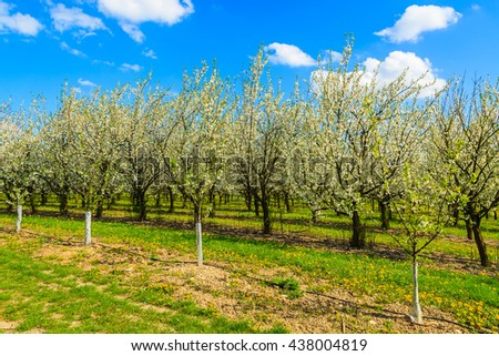 Plum and apple trees in blossom in orchard near Kotuszow village on sunny spring day, Poland