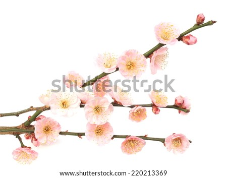 Plum blossom - stock photo