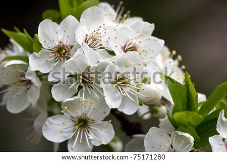 plum blossom 3 - stock photo