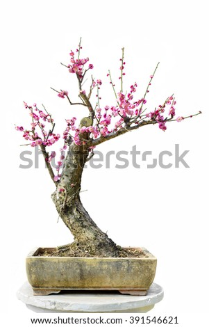Plum Blossom Bonsai Isolated on White Background.