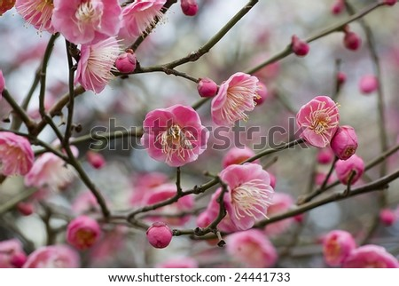Plum blossom in Japan in the beginning of February - stock photo