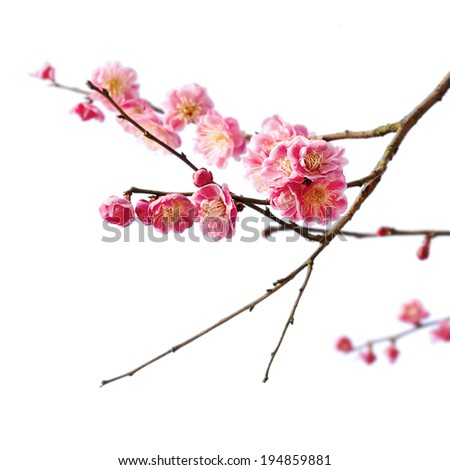 Plum Blossom Isolated on White Background. - stock photo
