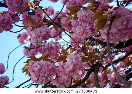 Plum blossom, Kyoto, Japan - stock photo