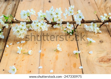 Plum blossom with white flowers on wood background. - stock photo